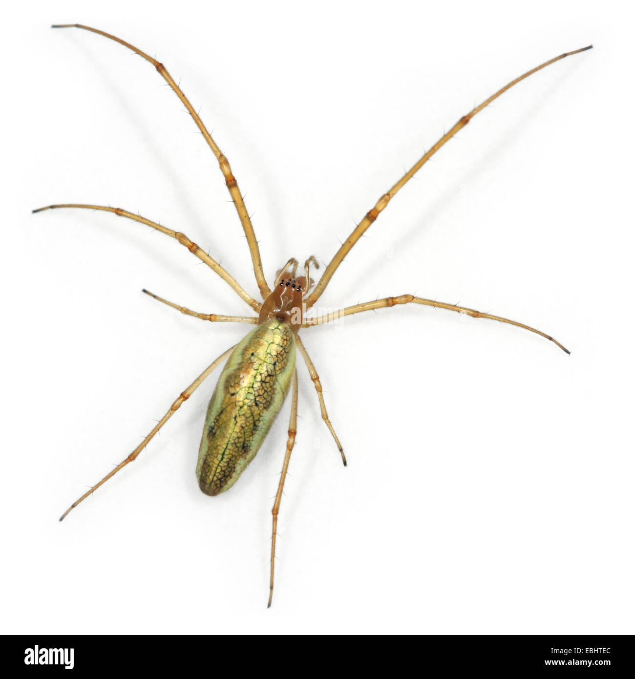 A female Common Stretch-spider (Tetragnatha extensa), on a white background, part of family Tetragnathidae - Long - Stock Image