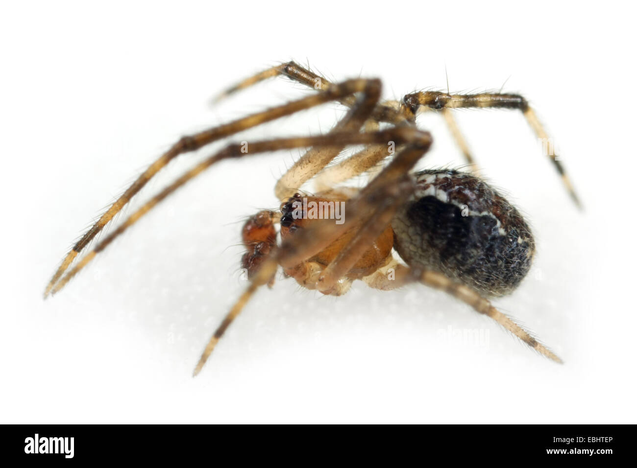 A male Chobham Comb-foot spider (Theridion pinastri), on a white background, part of the family Theridiidae - Comb - Stock Image
