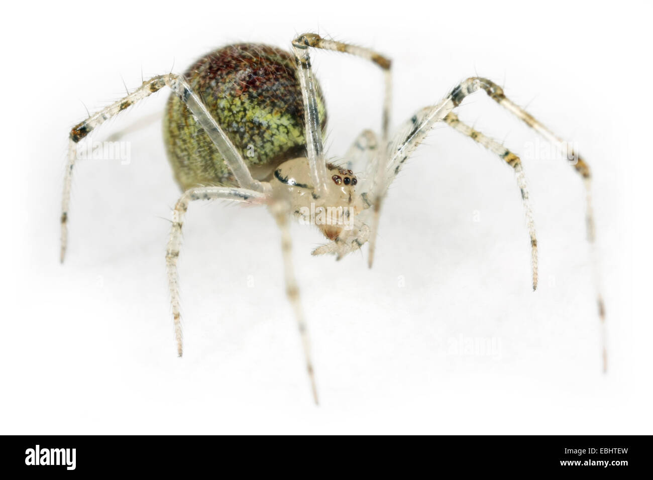 A female Theridion varians spider, on a white background, part of the family Theridiidae - Comb-Footed spiders. - Stock Image