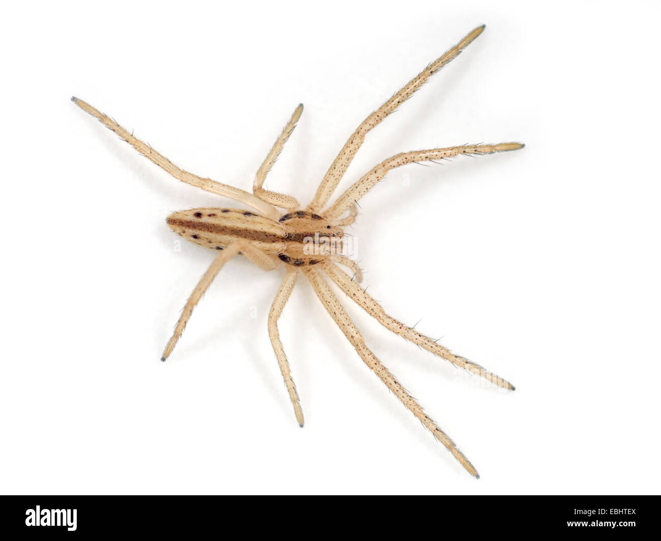A Slender Crab spider (Tibellus sp) on a white background. Part of the Family Philodromidae,  Running crab spiders. - Stock Image