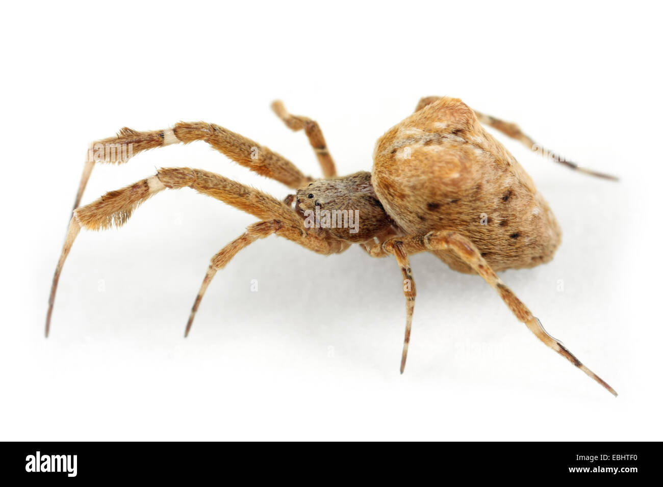 Female Hothouse Featherleg spider, Uloborus plumipes, on white background. Part of the family Uloboridae - Cribellate - Stock Image