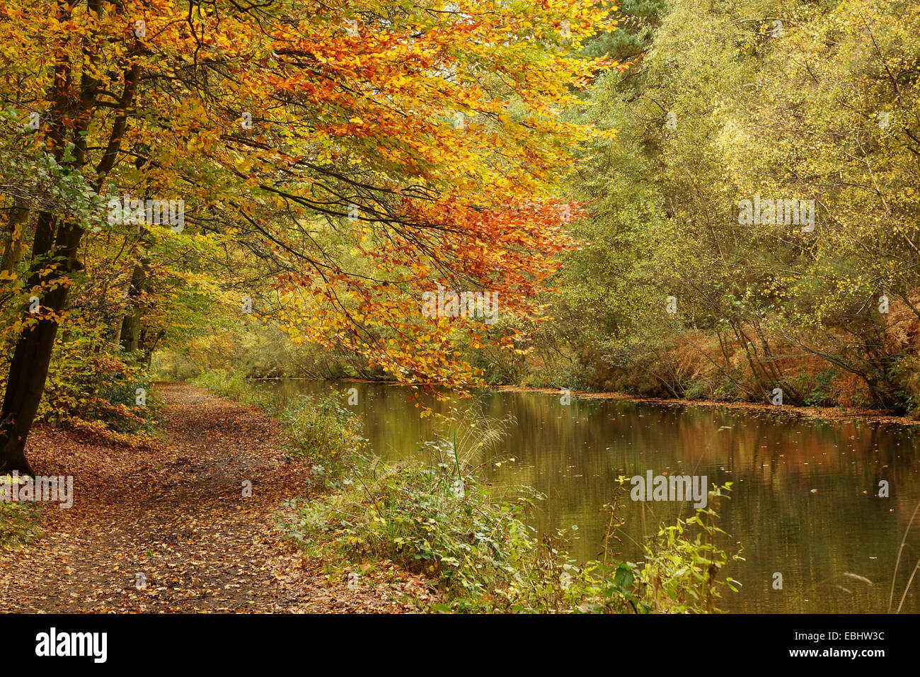 Basingstoke Canal and footpath in Autumn - Stock Image