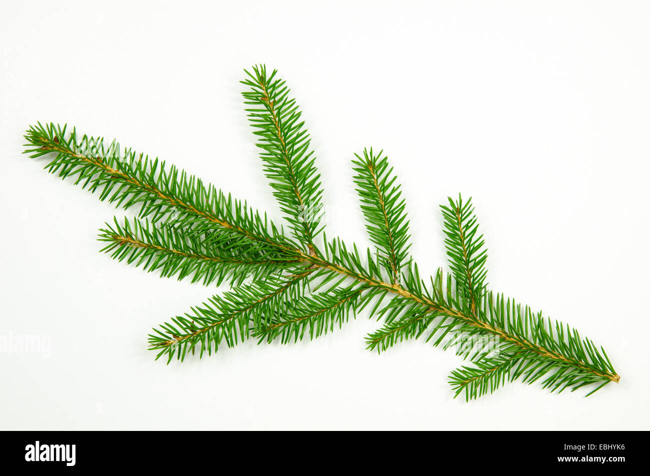 Single spruce twig a a white background - Stock Image