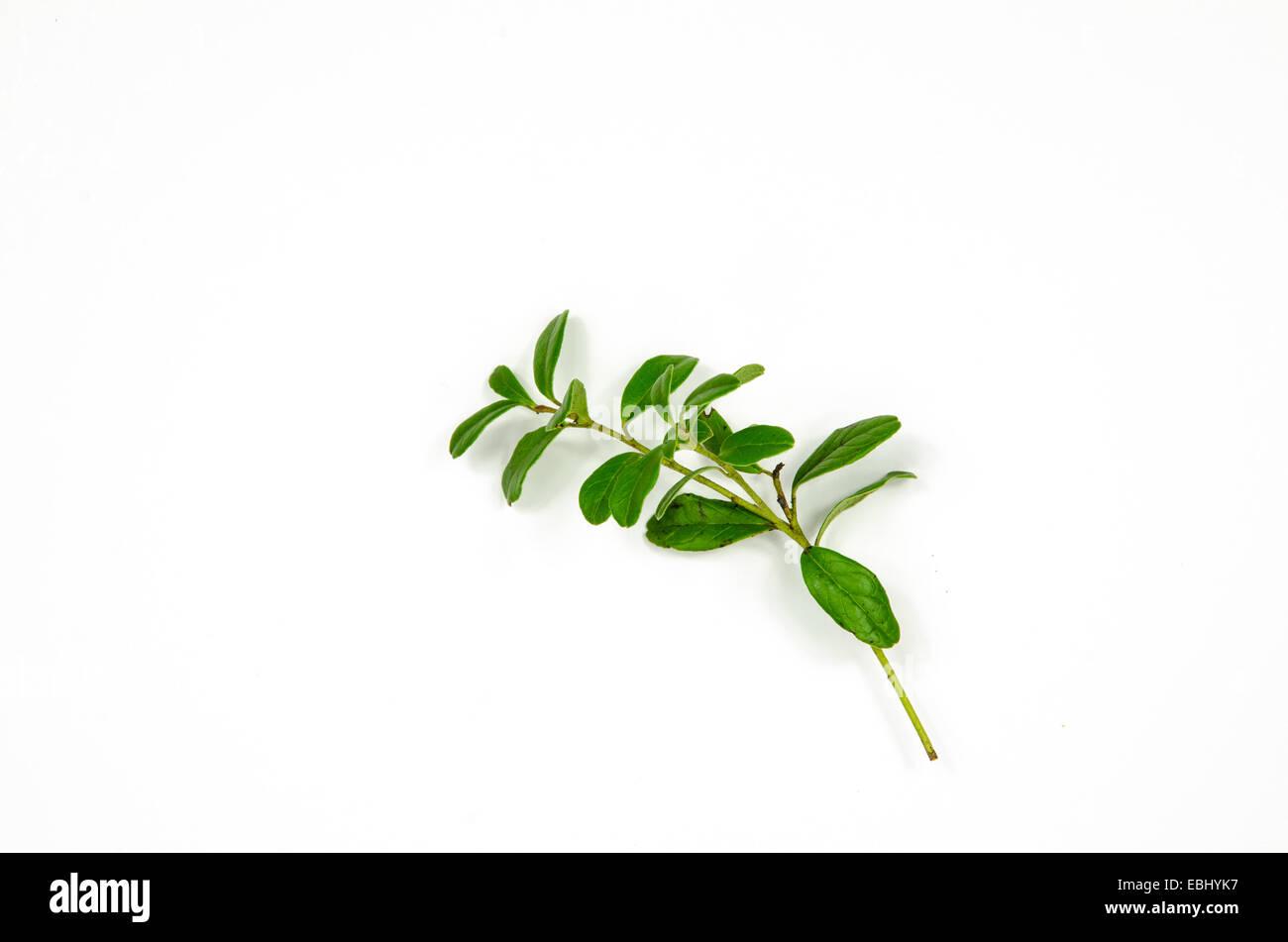 Single lingonberry twig decoration at white background - Stock Image