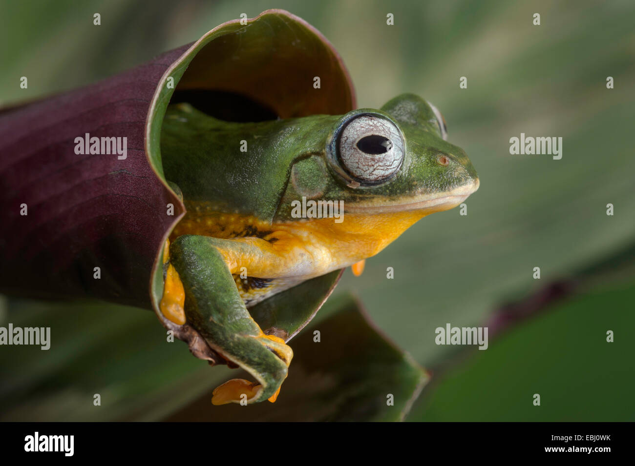 Flying Tree Frog peering out of a leaf. - Stock Image