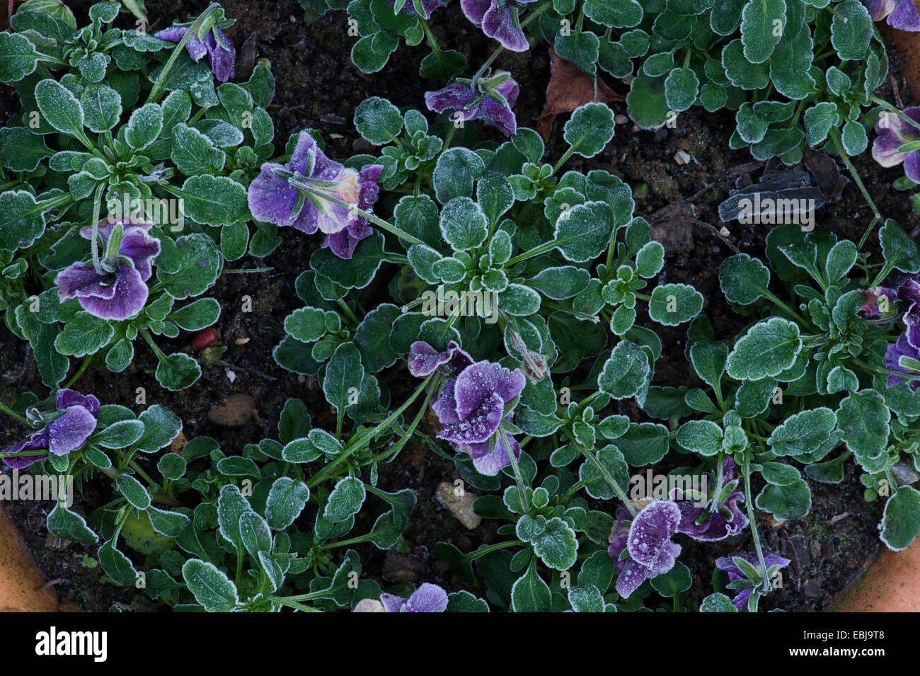 Viola flowers covered in an autumn frost - Stock Image