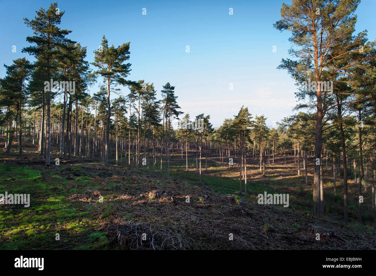 Conifer and birch woodland at Graffham Common, West Sussex, UK - Stock Image