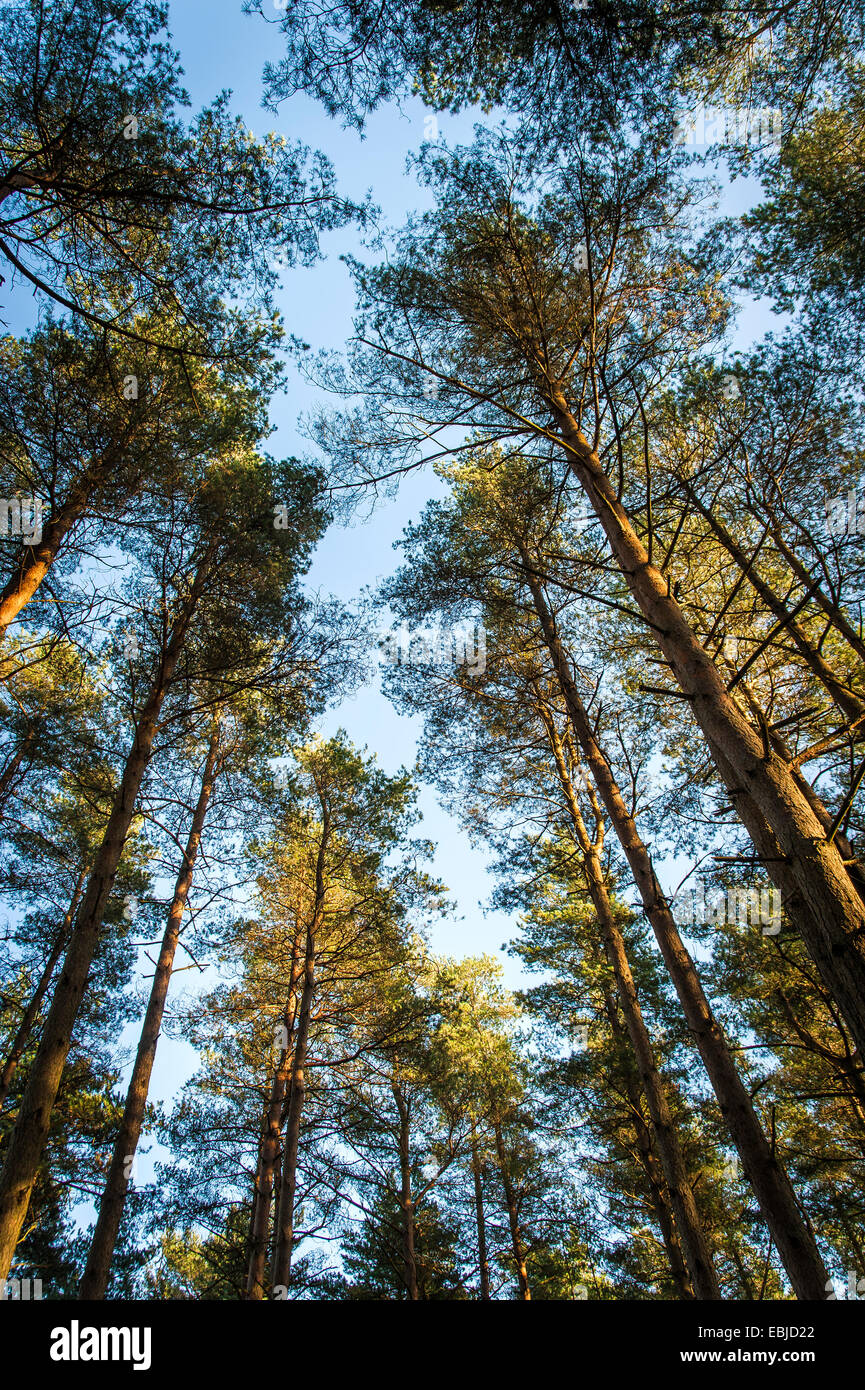 Looking up through a canopy of conifer trees at Graffham Common, West Sussex, UK - Stock Image