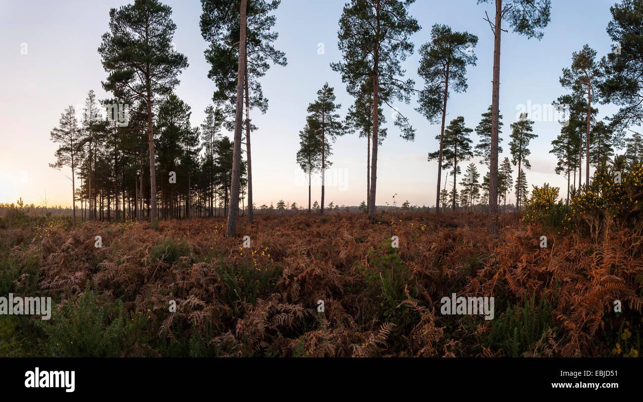 Open heathland at Lavington Common, West Sussex, UK - Stock Image