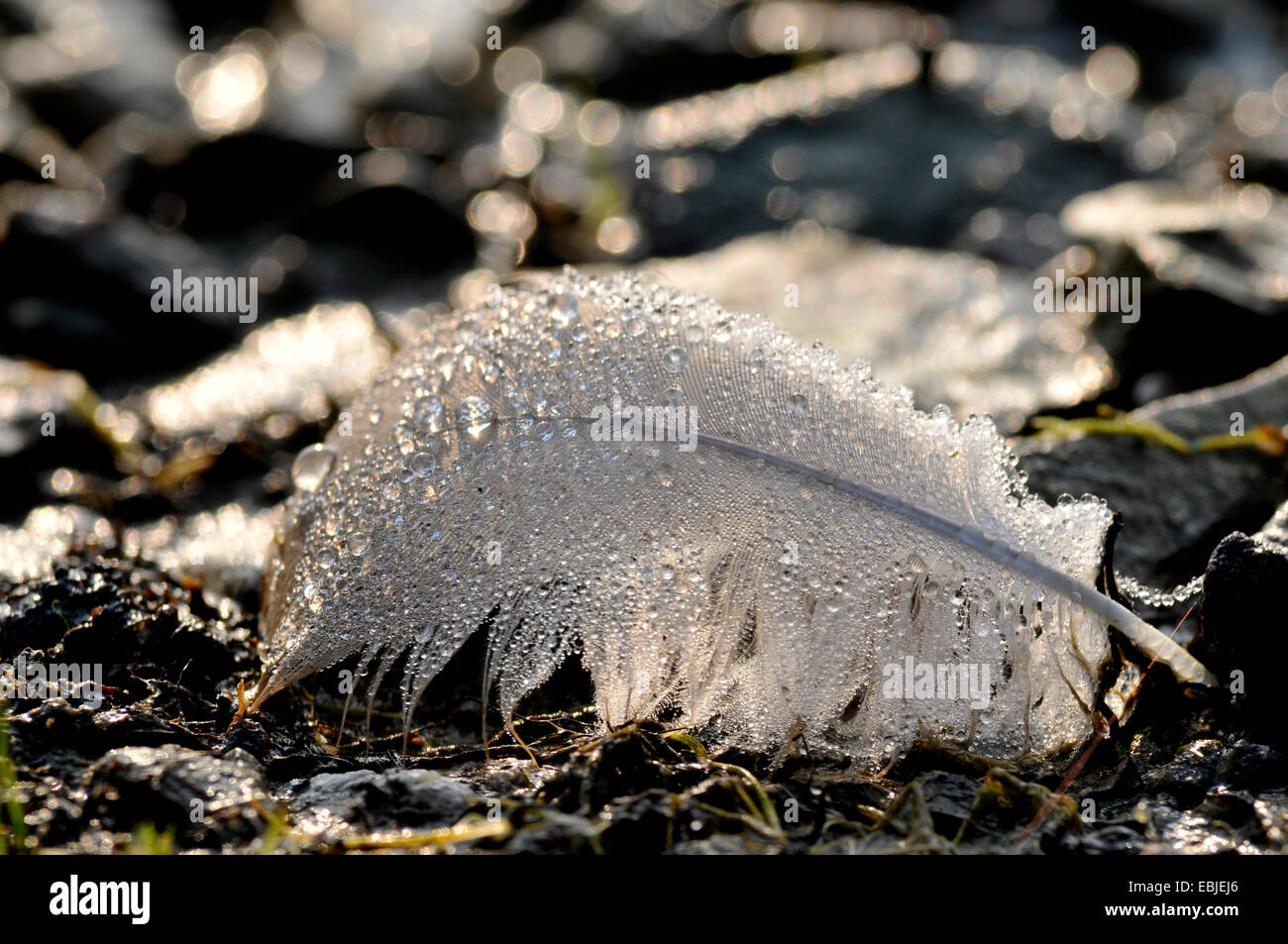white feather lying on soil ground covered with water drops, Germany, North Rhine-Westphalia Stock Photo