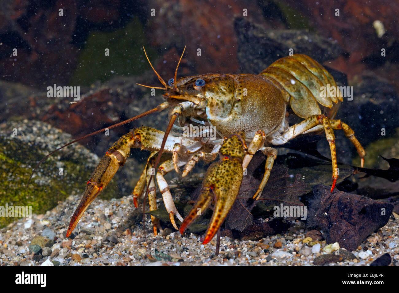 long-clawed crayfish (Astacus leptodactylus), female on the ground - Stock Image