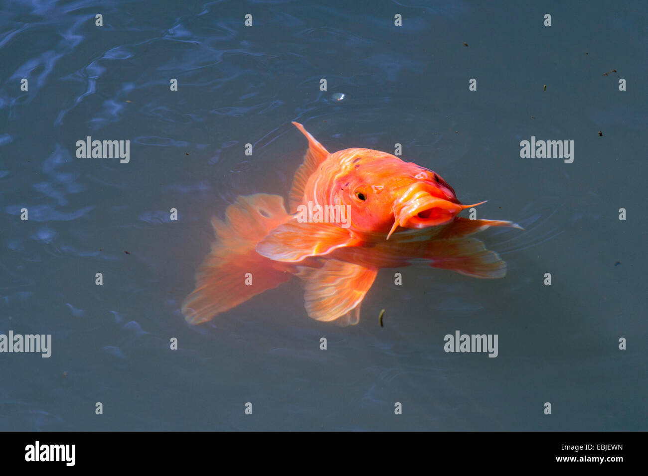 koi carp (Cyprinus carpio), sticking the head out of the water Stock Photo