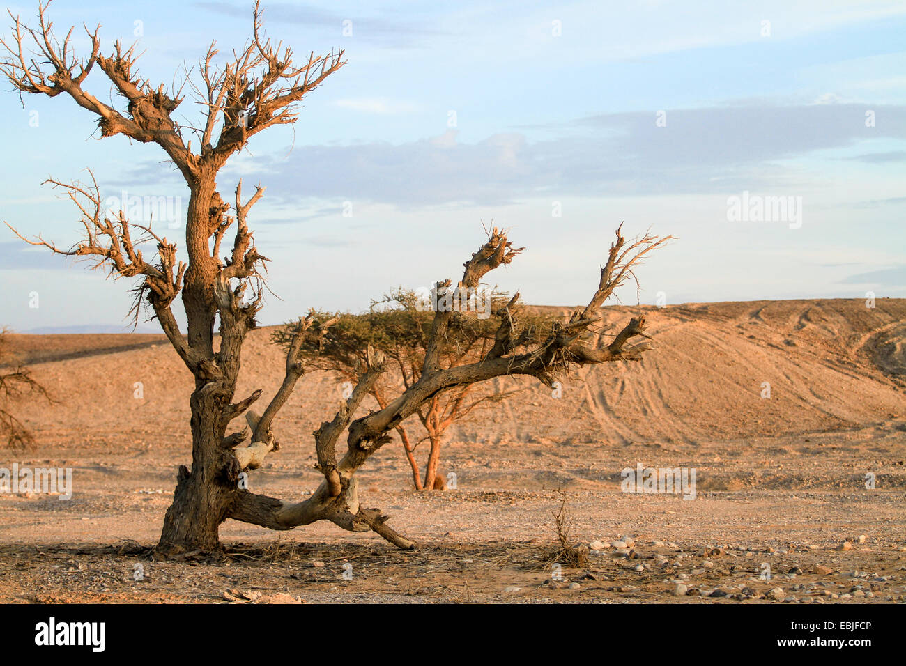 Dry parched tree in a desert landscape - Stock Image