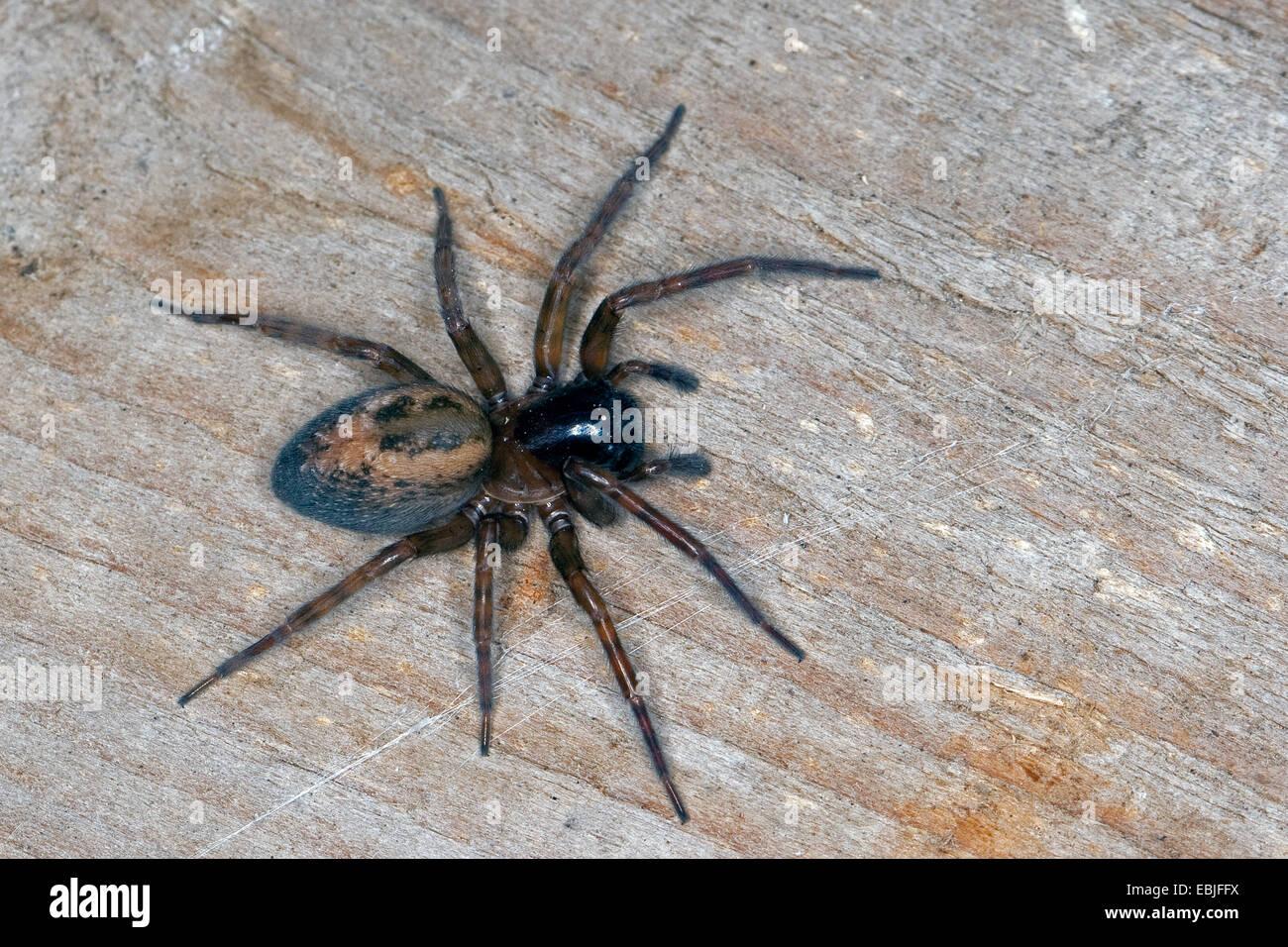 Window lace weaver, House spider mouthparts (Amaurobius similis), female, Germany - Stock Image