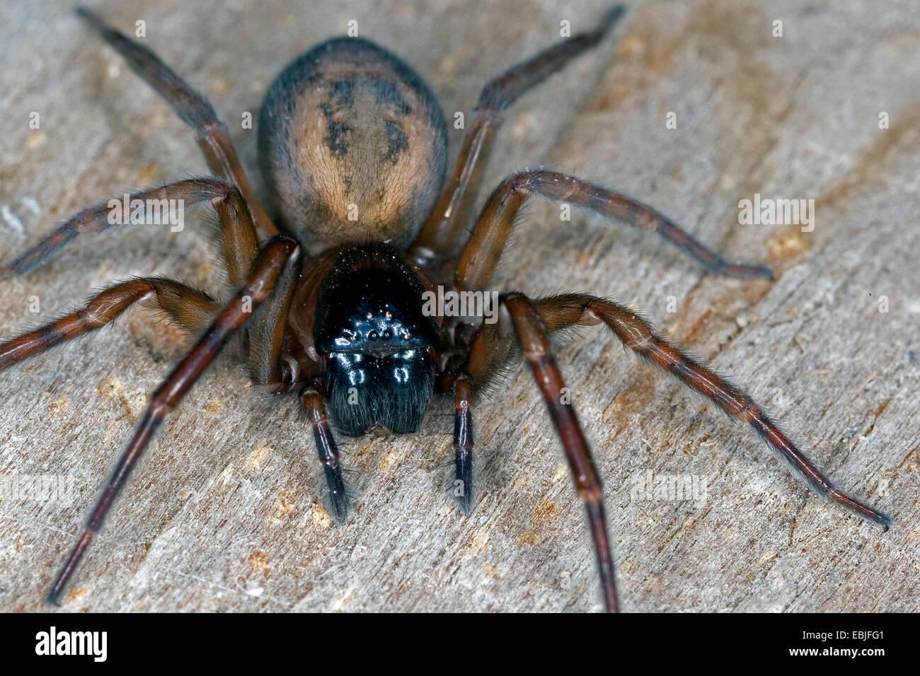 Window lace weaver, House spider mouthparts (Amaurobius similis), female, portrait, Germany - Stock Image