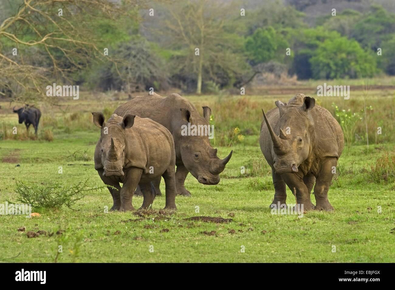 white rhinoceros, square-lipped rhinoceros, grass rhinoceros (Ceratotherium simum), three rhinocerosses in green - Stock Photo