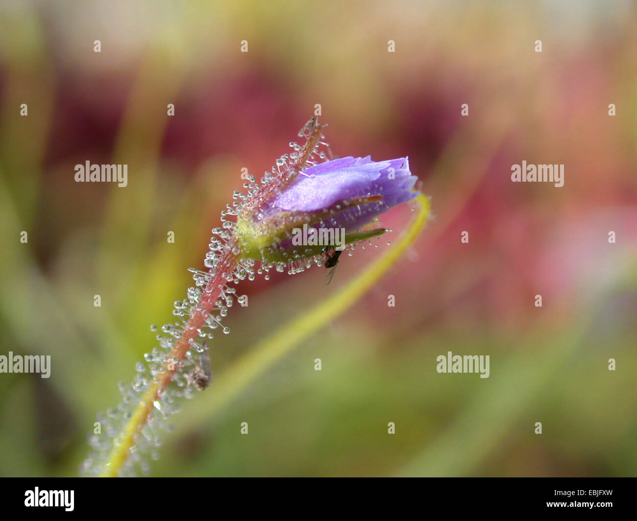 Rainbow Plant (Byblis liniflora), bud - Stock Image