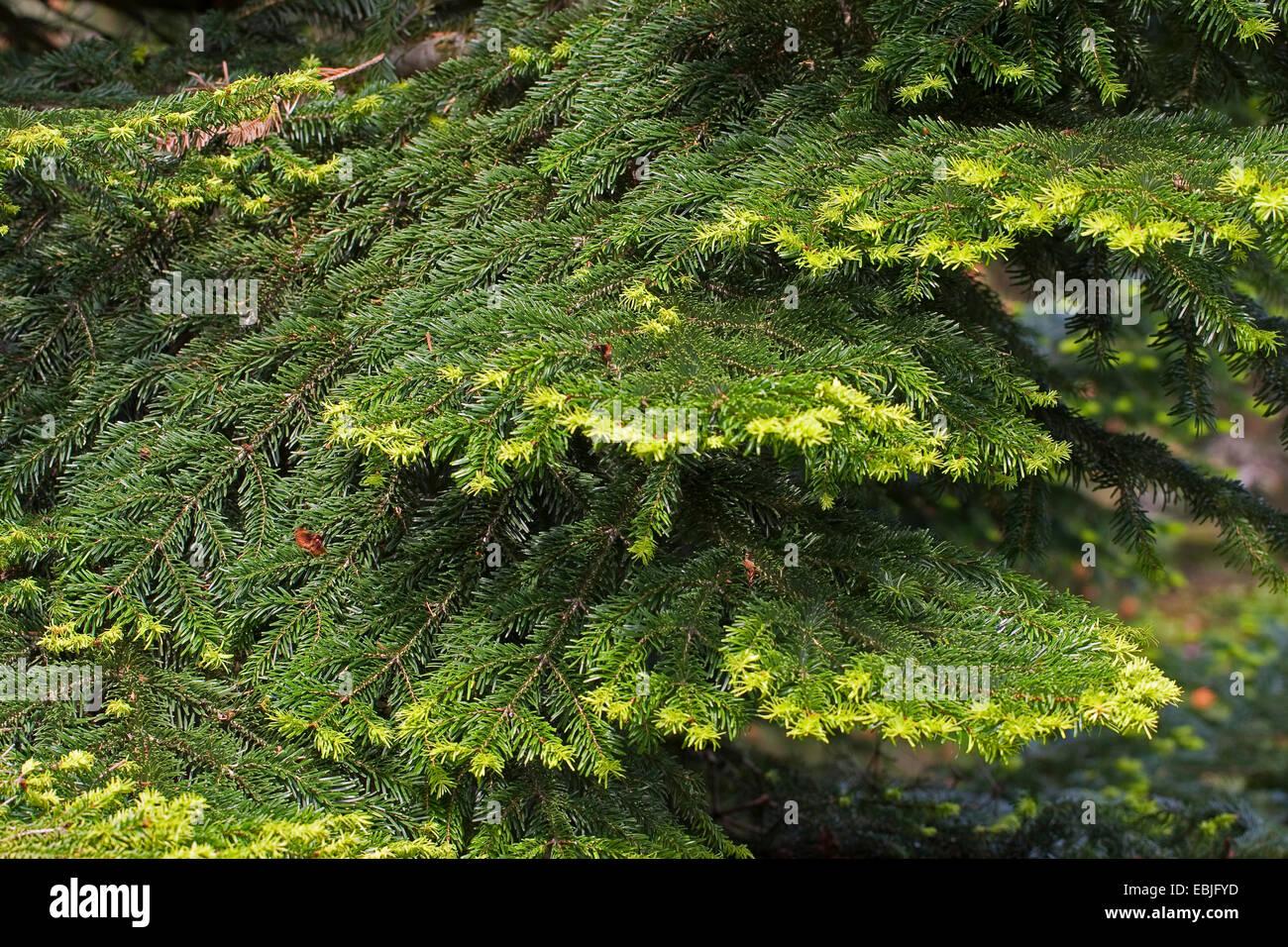 Nordmann Fir, Caucasian Fir, Christmas Tree (Abies