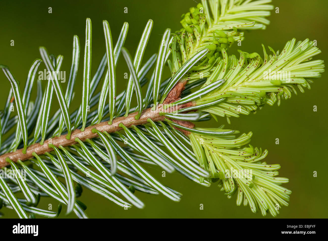 Nordmann Fir, Caucasian Fir, Christmas Tree (Abies nordmanniana), branches with young shoots, lower side with aphids - Stock Image