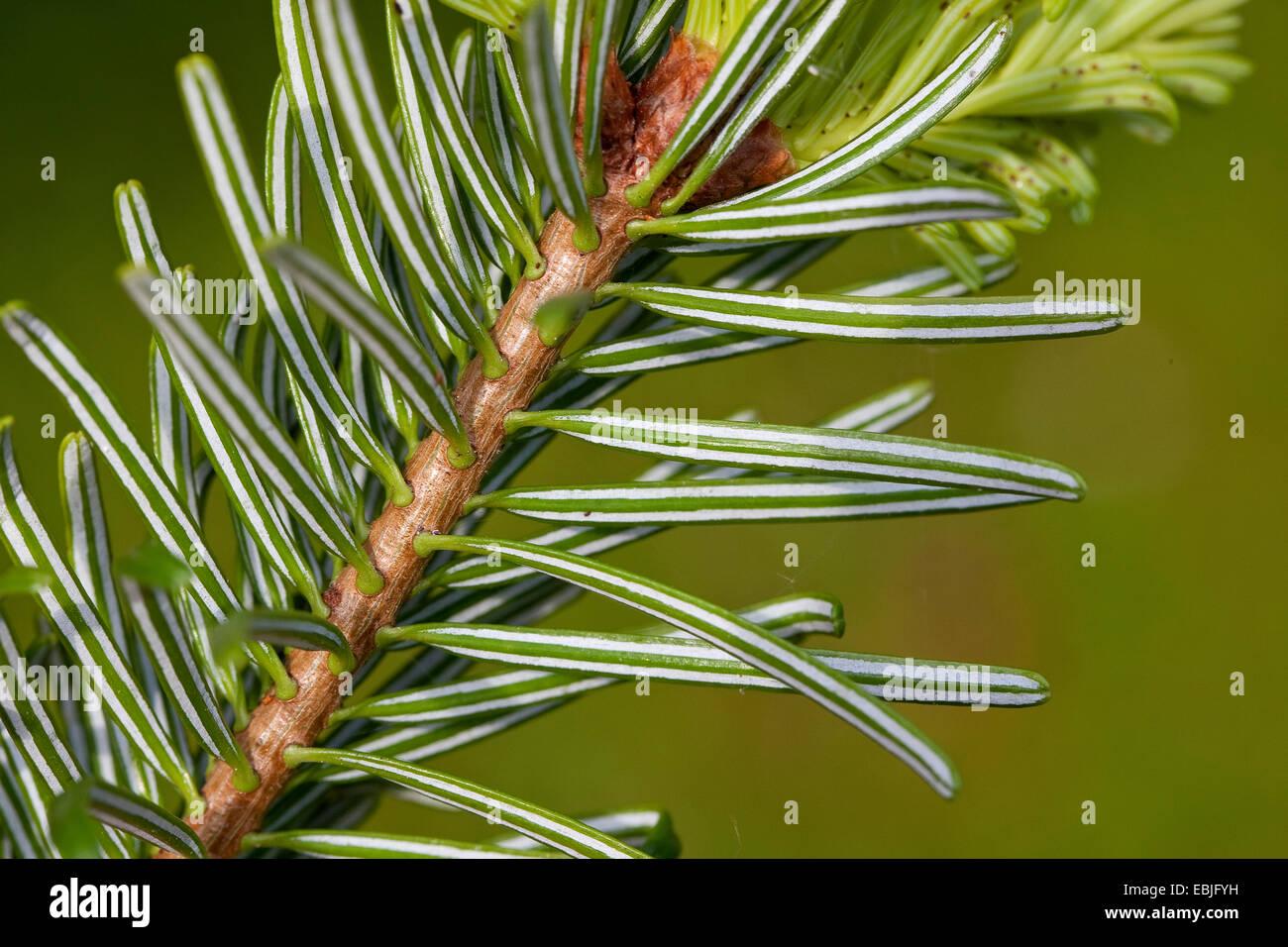 Nordmann Fir, Caucasian Fir, Christmas Tree (Abies Nordmanniana Stock Photo: 76010357