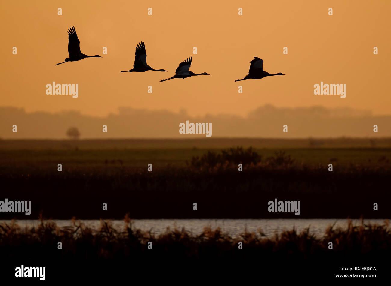 Common crane, Eurasian Crane (Grus grus), cranes flying in the evening, Germany, Mecklenburg-Western Pomerania Stock Photo