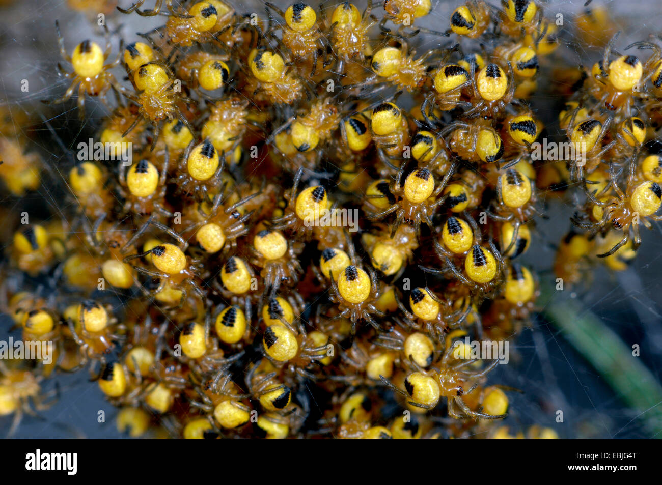 M Of Spiders Stock Photos & M Of Spiders Stock Images - Alamy