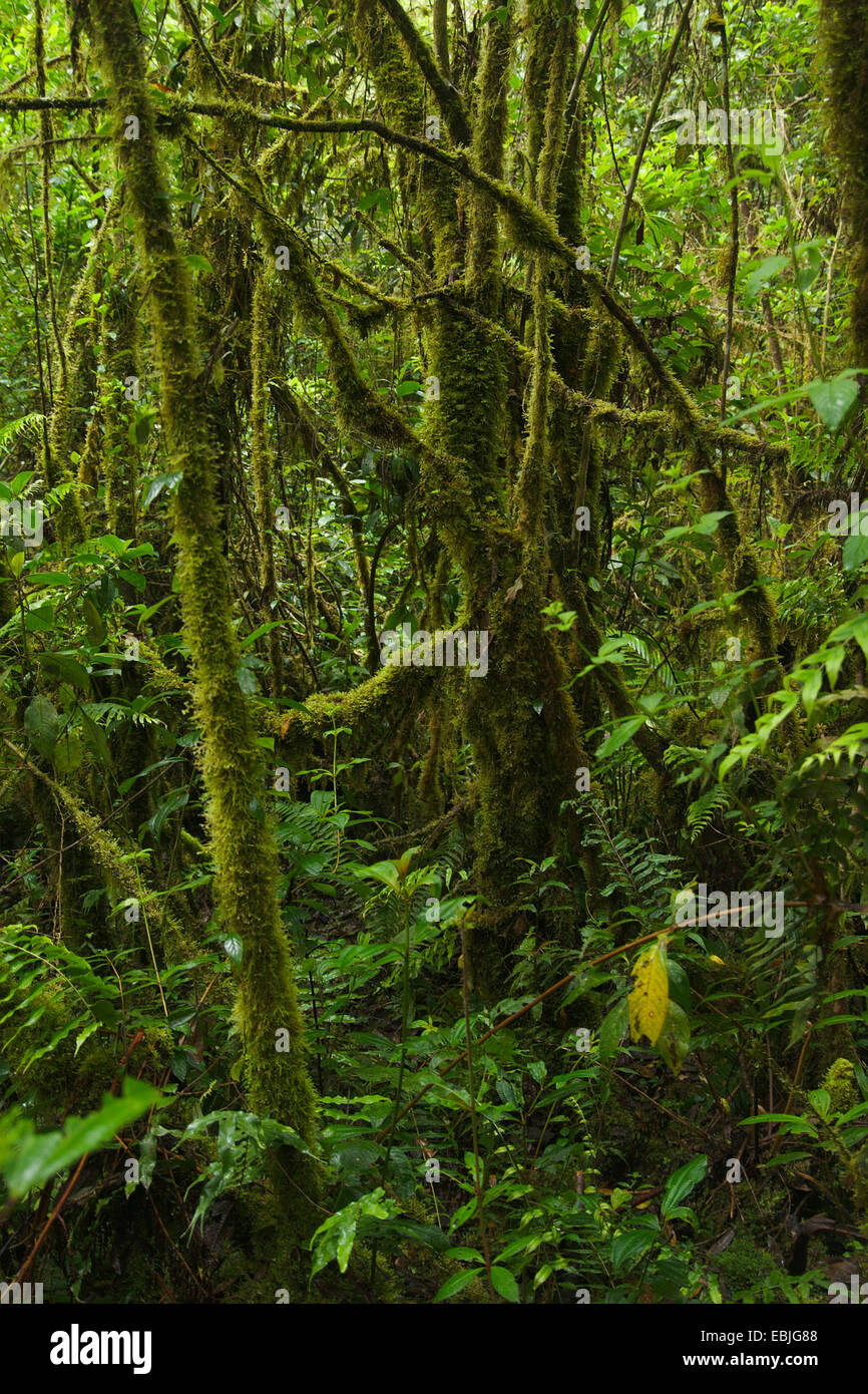 cloud forest, Colombia, Parque Ucumari Stock Photo
