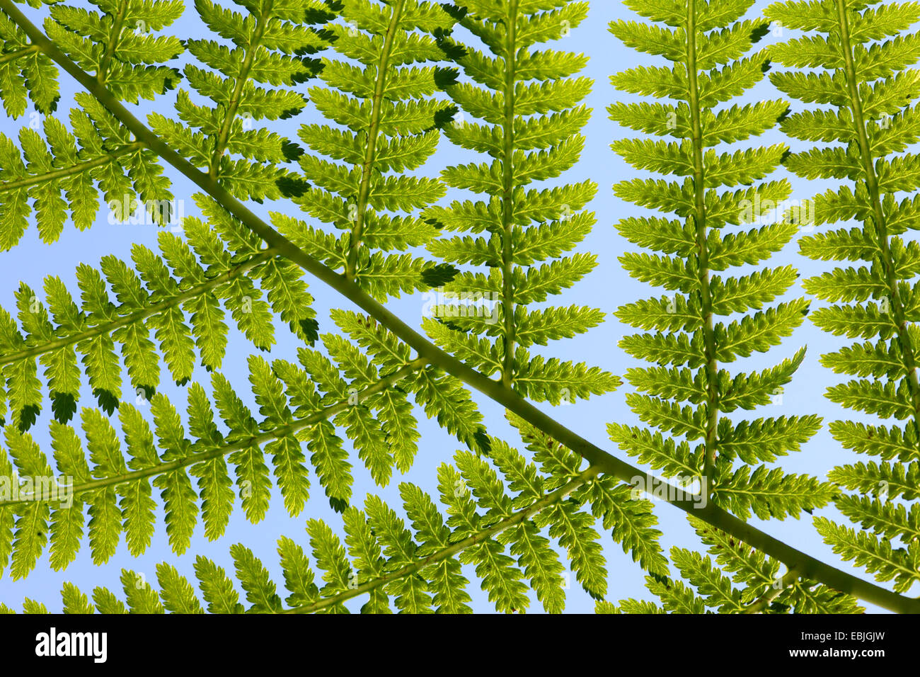 leaflets of a fern frond in backlight, Switzerland - Stock Image