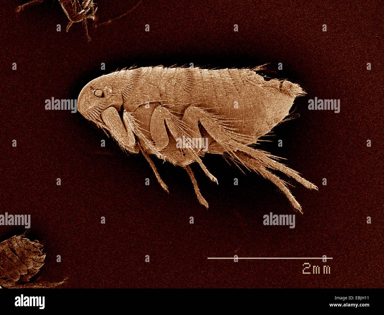 A flea, Siphonaptera SEM - Stock Image