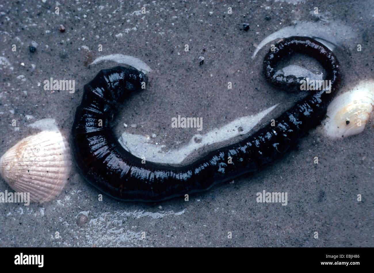 European lug worm, blow lug, lugworm (Arenicola marina), lying in the sand, Germany - Stock Image