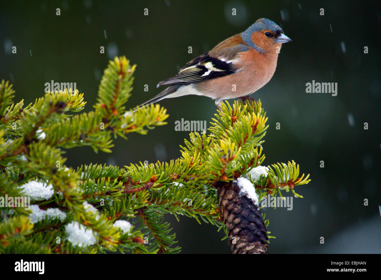 chaffinch (Fringilla coelebs), siting on a spruce branch, Sweden, Hamra National Park Stock Photo