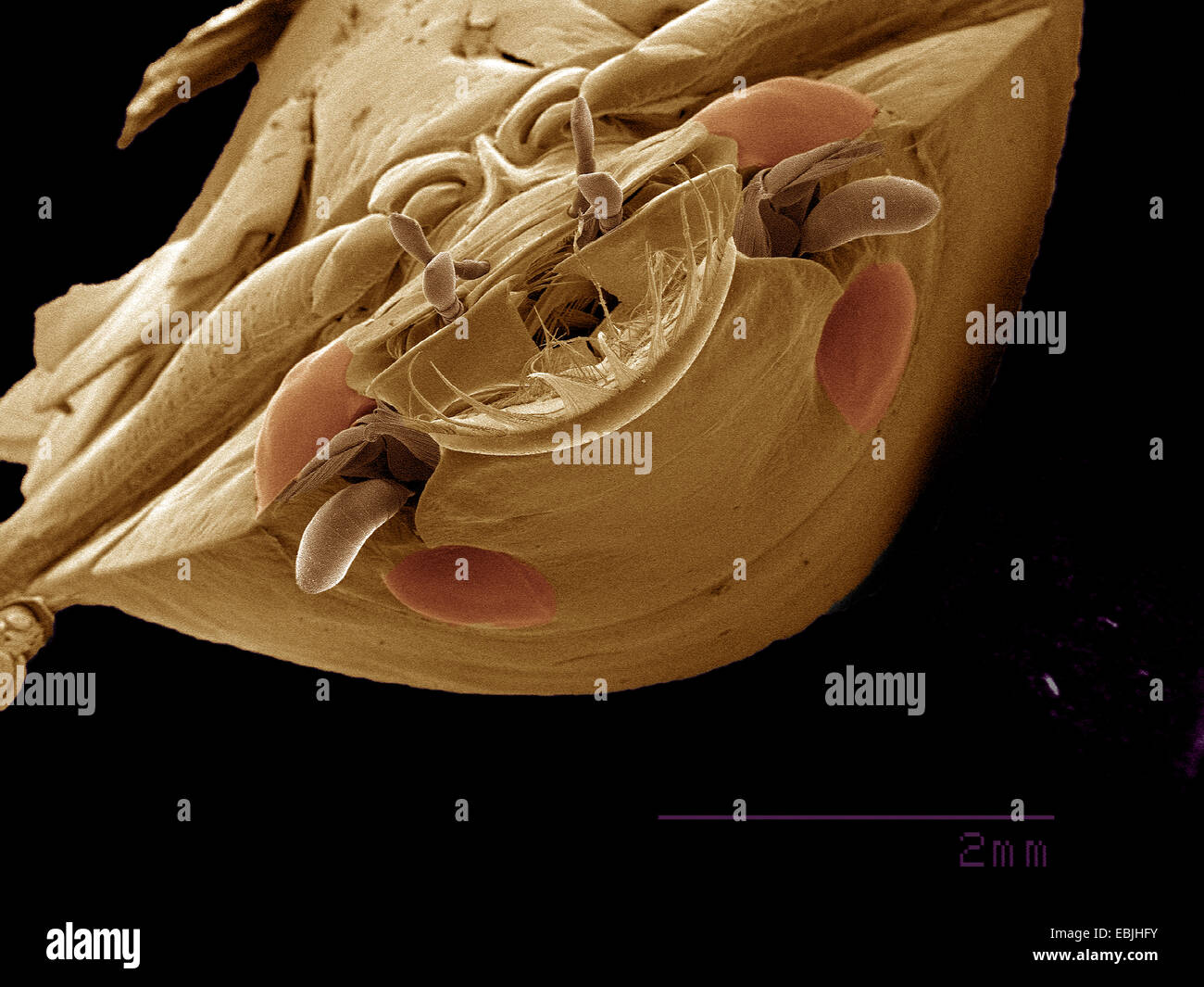 Four-eyed Whirligig beetle, Gyrinidae SEM Stock Photo