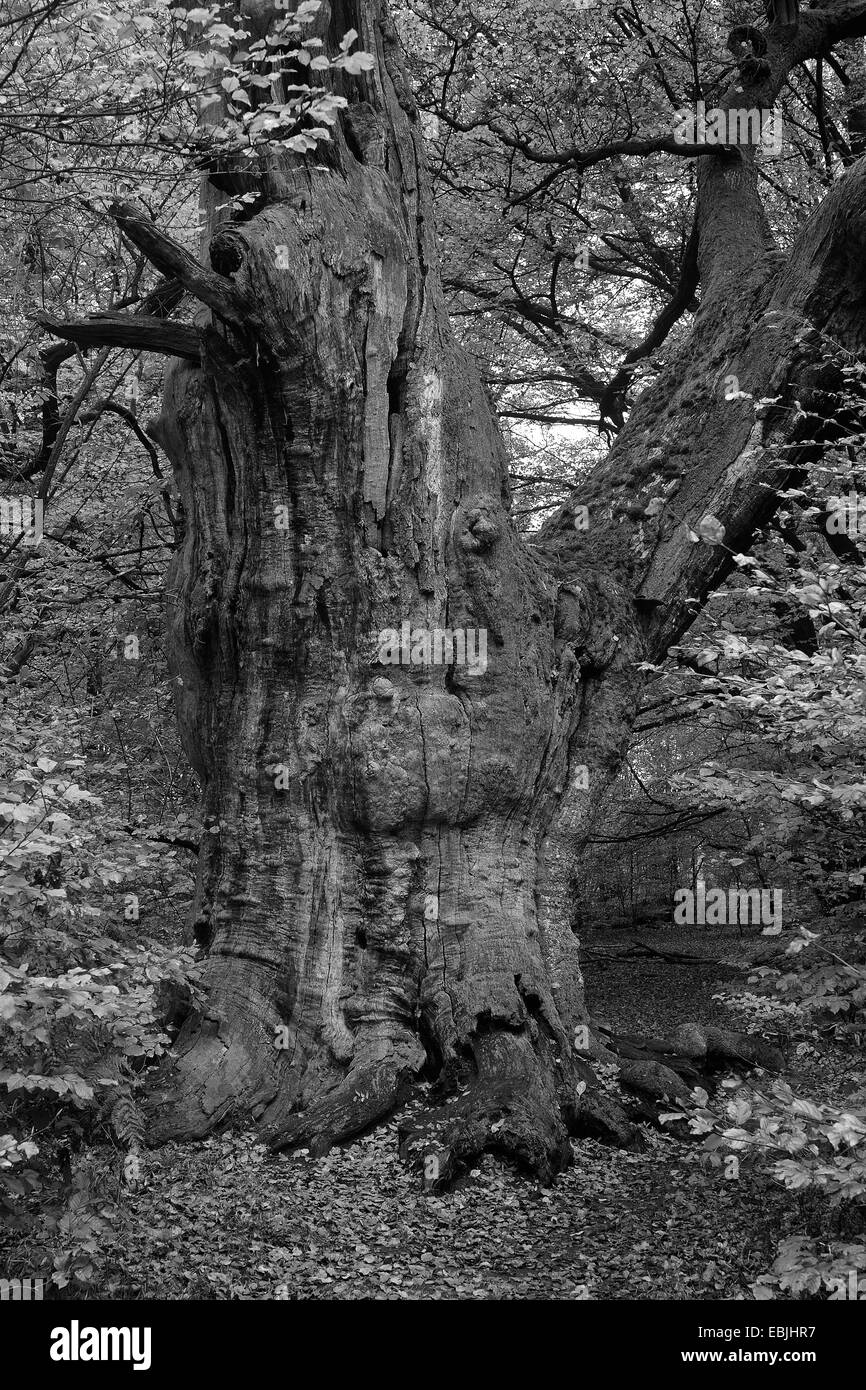 oak (Quercus spec.), old oak tree in autumn, black-and-white photography, Germany, Hesse, NSG Reinhardswald - Stock Image