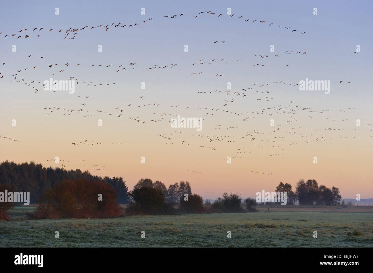 white-fronted goose (Anser albifrons), flocks of geese flying up over the moor, Germany, Lower Saxony, Rehdener - Stock Image
