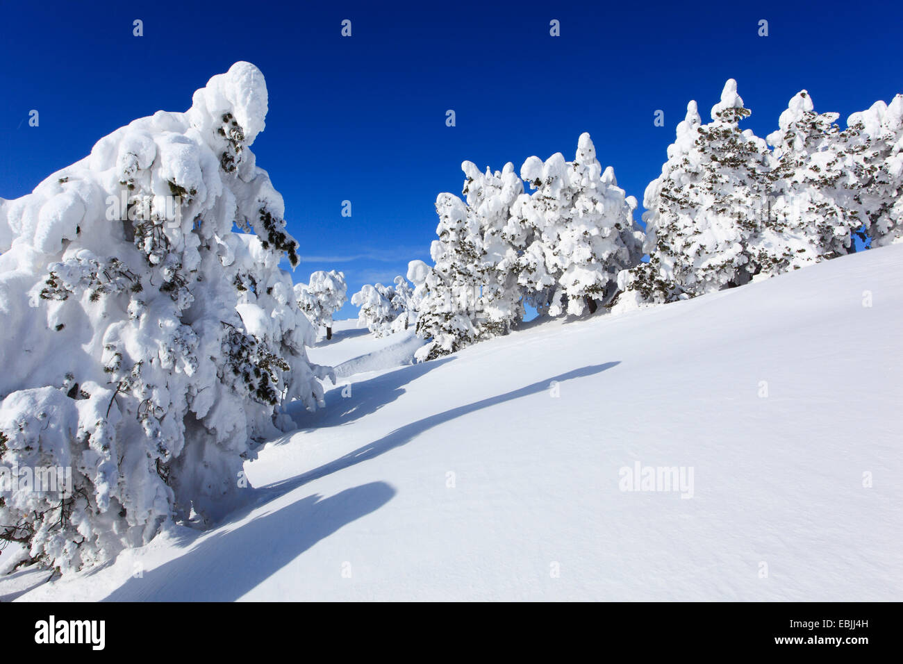 Norway spruce (Picea abies), snowcovered conifers at Niederhorn, Switzerland, Bernese Oberland Stock Photo