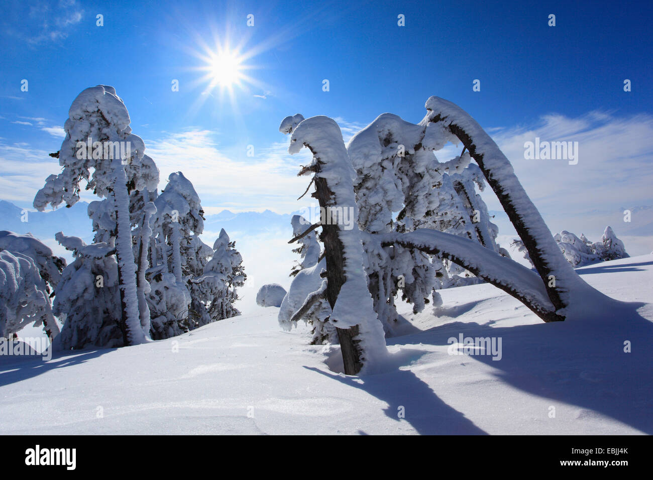 Norway spruce (Picea abies), snowcovered conifers at Niederhorn, Switzerland, Bernese Oberland - Stock Image