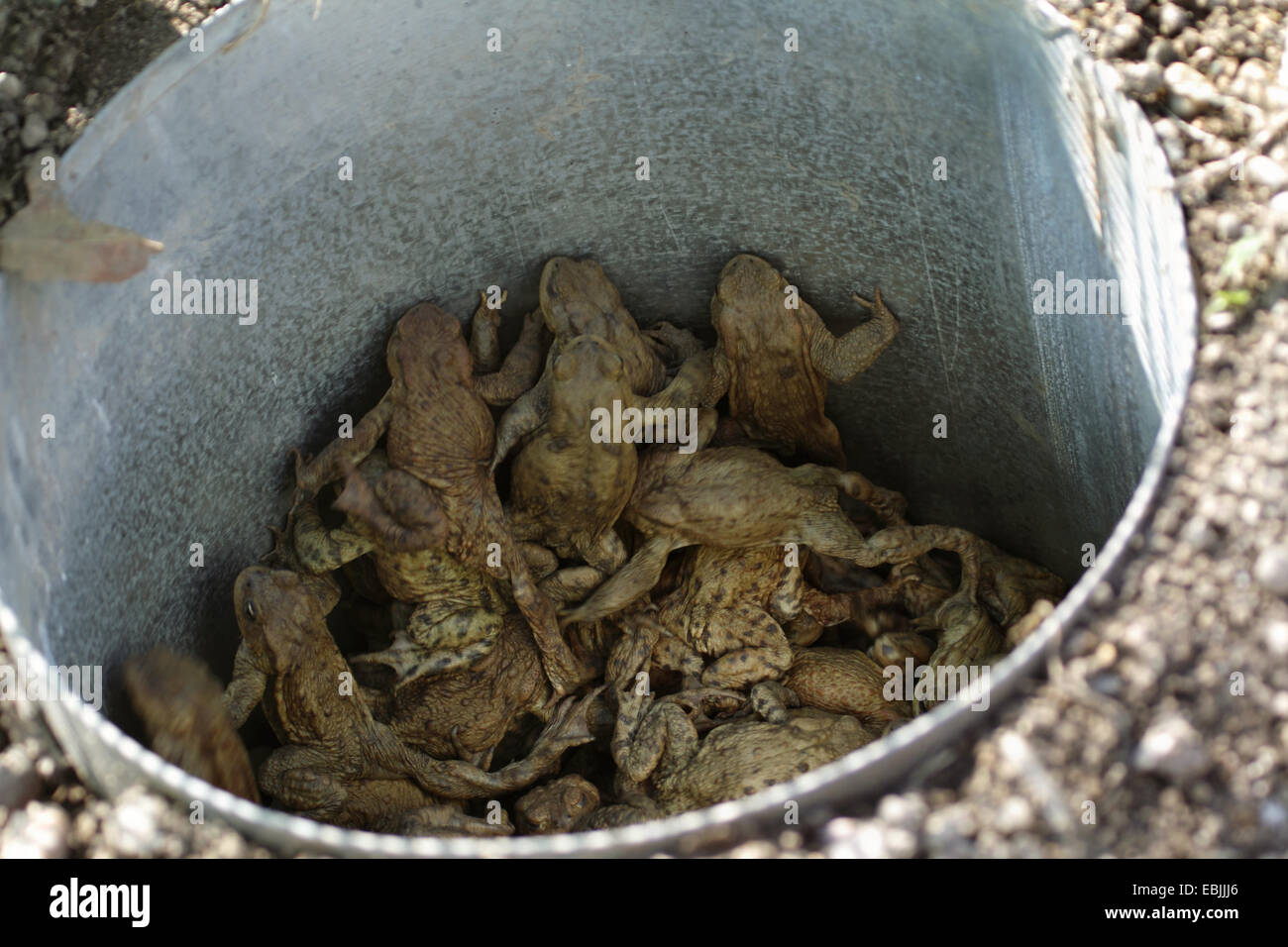 European common toad (Bufo bufo), common toads in a bucket, Germany, Baden-Wuerttemberg - Stock Image