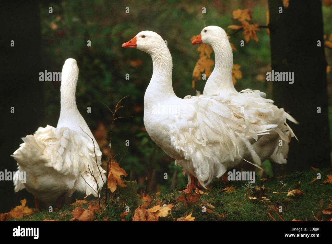 domestic goose (Anser anser f. domestica), some Sebastopol Geese on grasgrown forest ground - Stock Image