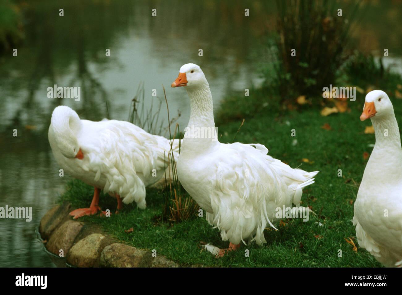 domestic goose (Anser anser f. domestica), some Sebastopol Geese at a lake shore - Stock Image