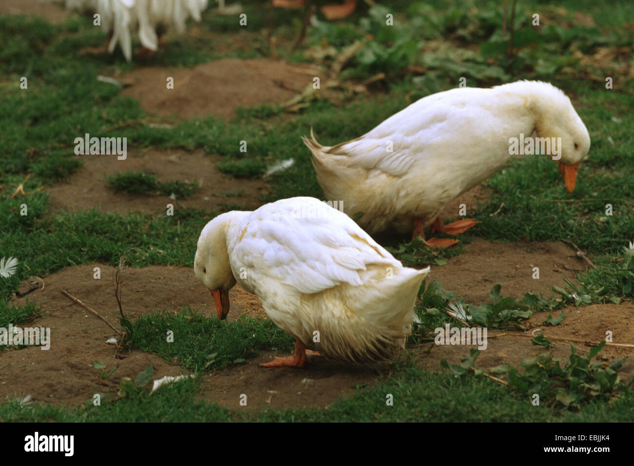 domestic duck (Anas platyrhynchos f. domestica), American Pekin ducks in a meadow - Stock Image