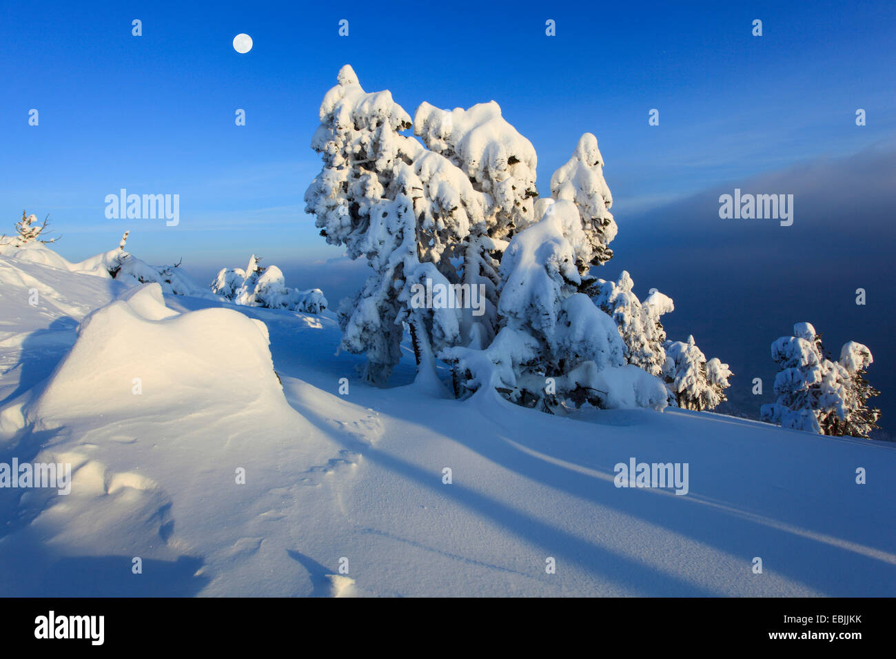 Norway spruce (Picea abies), snowcovered conifers at Niederhorn in the evening with full moon, Switzerland, Bernese - Stock Image