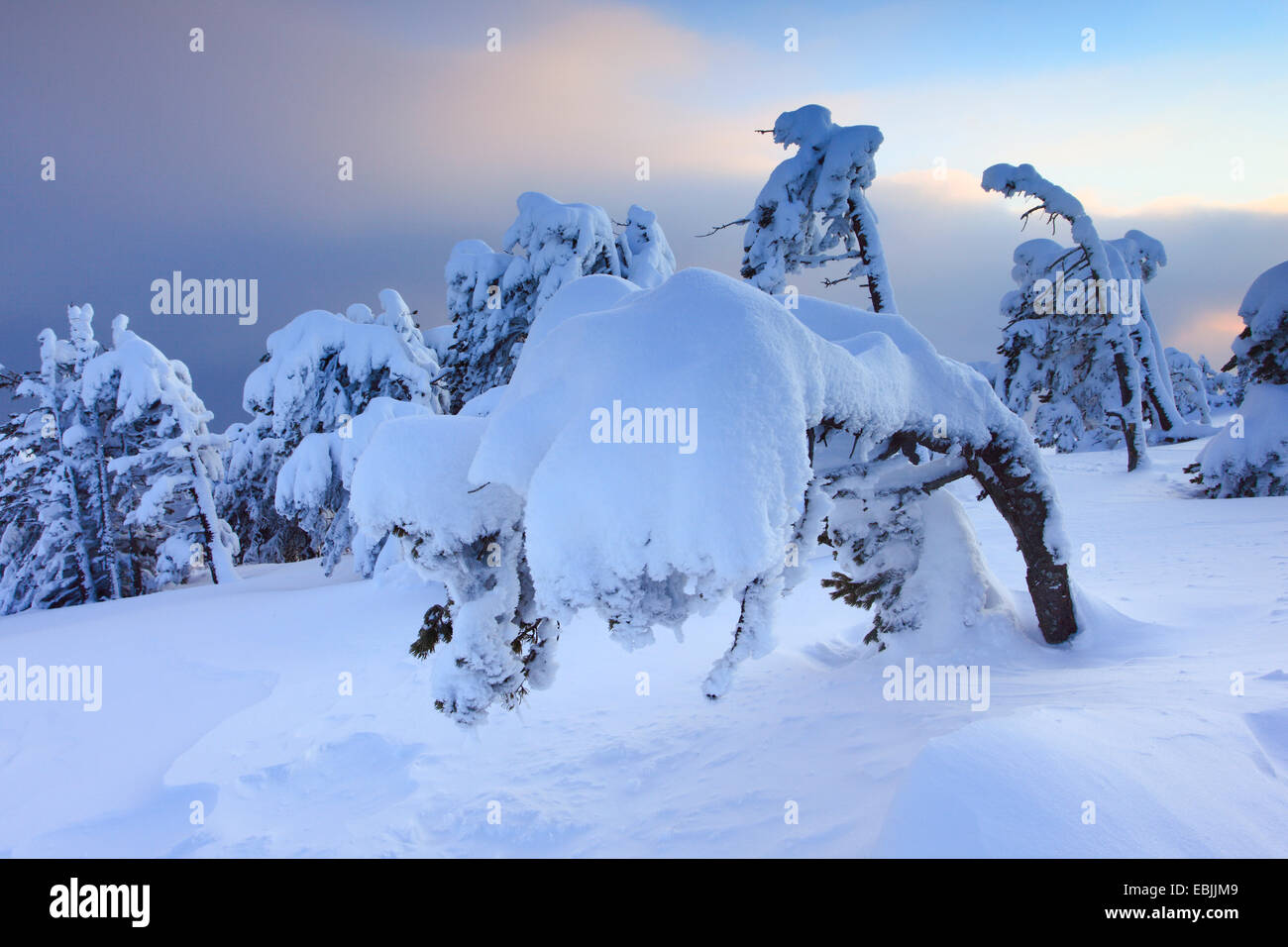 Norway spruce (Picea abies), snowcovered conifers at Niederhorn in the evening, Switzerland, Bernese Oberland - Stock Image