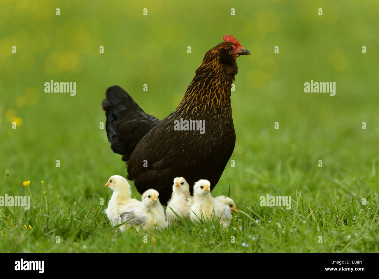 domestic fowl (Gallus gallus f. domestica), hen with one week old chickens in a meadow, Germany - Stock Image