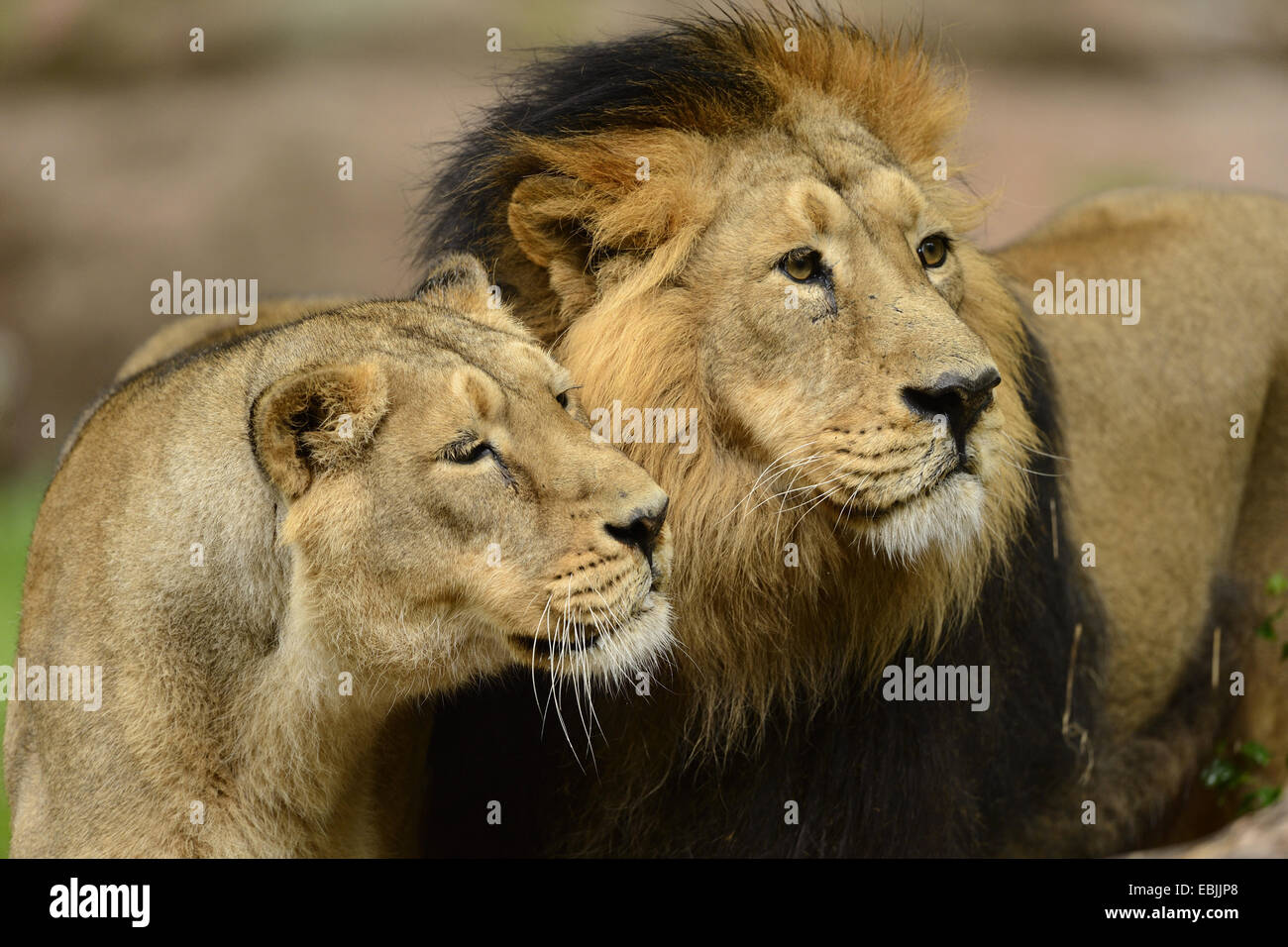 Asiatic lion (Panthera leo persica), portrait of a couple - Stock Image