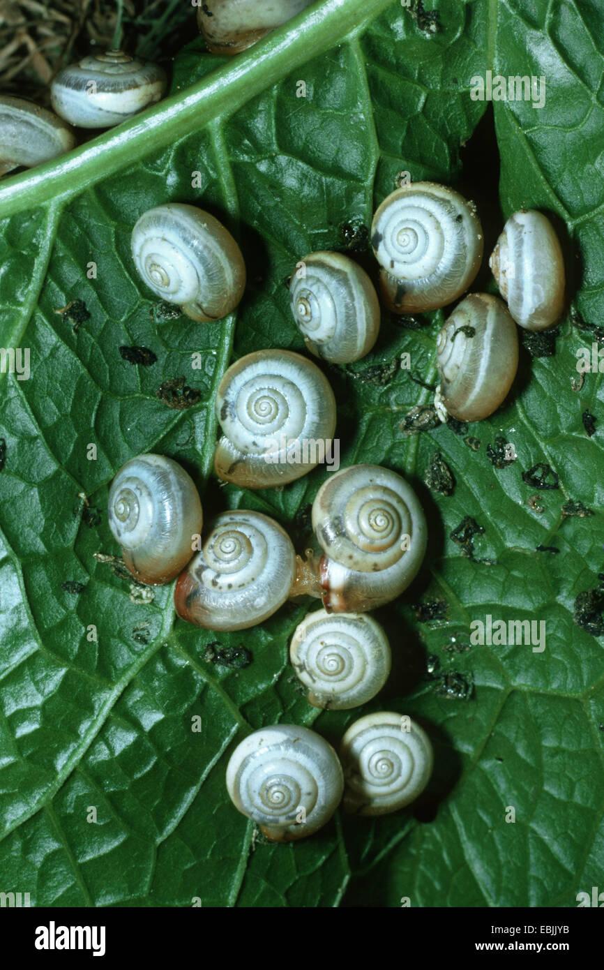Carthusian snail, Chartreuse snail (Monacha cartusiana, Theba cartusiana), some snails feeding on a leaf - Stock Image