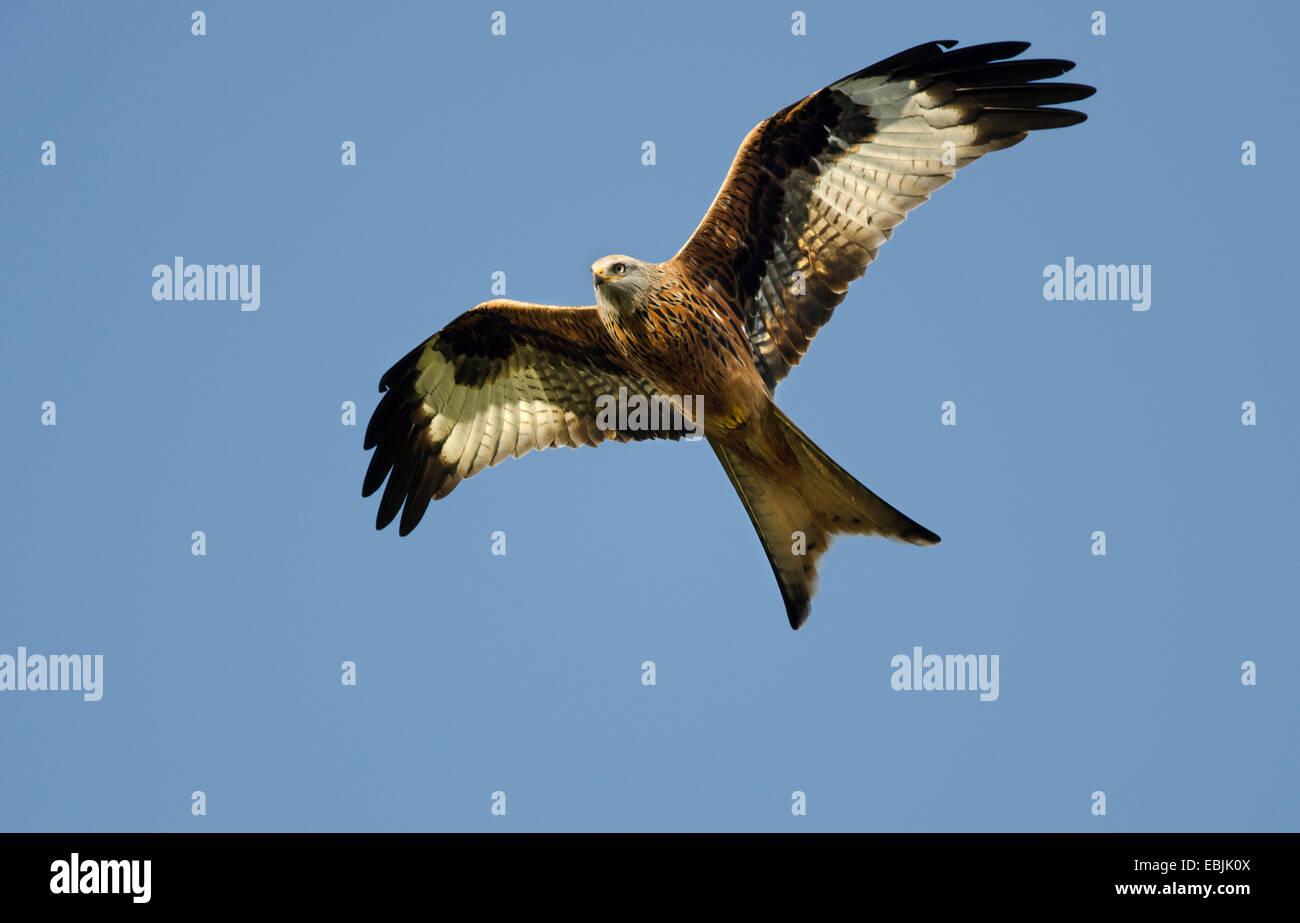 Red Kite Milvus Milvus British Bird Of Prey In Flight Over The