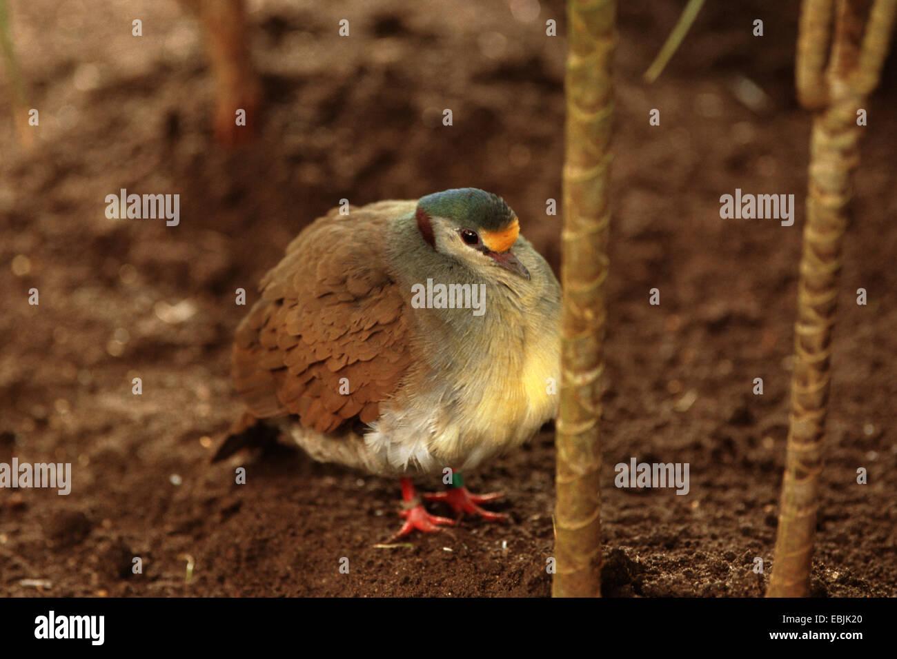 Sulawesi quail dove (Gallicolumba tristigmata), sitting on soil ground - Stock Image