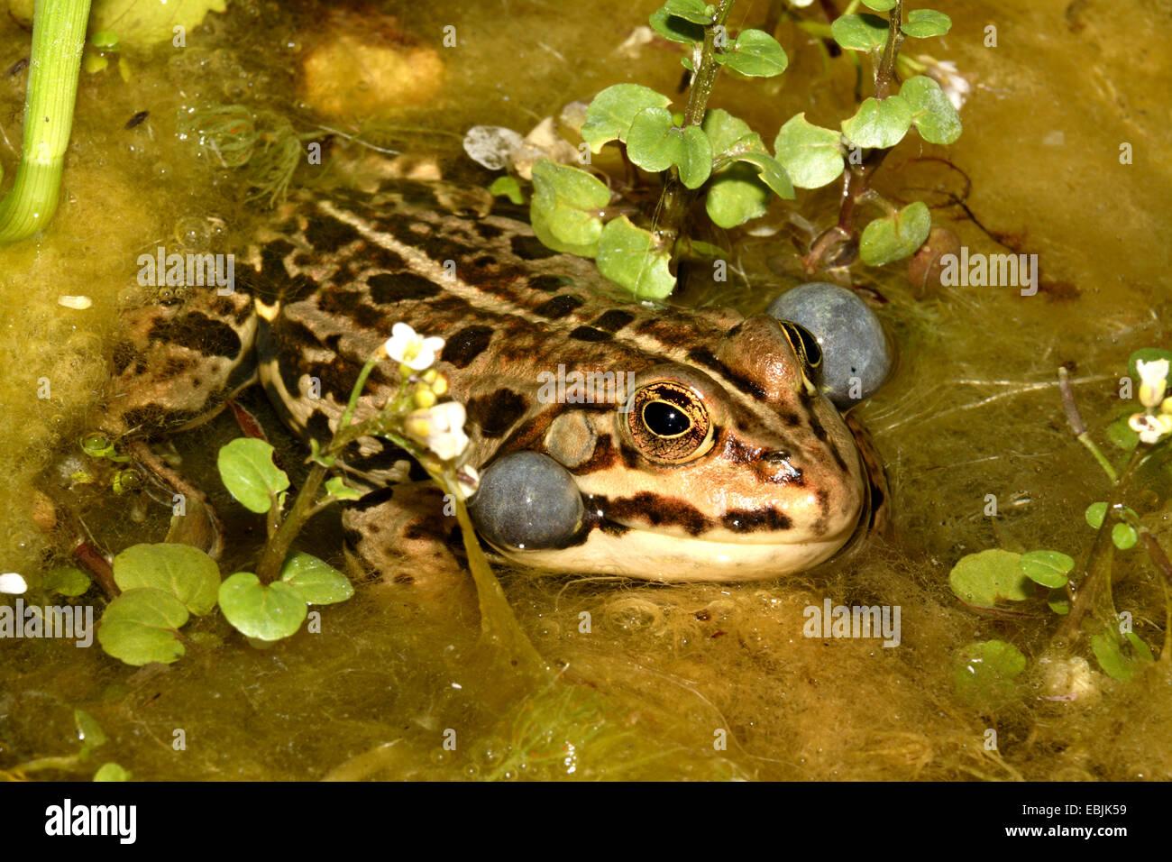 common frog, grass frog (Rana temporaria), croaking, Germany - Stock Image