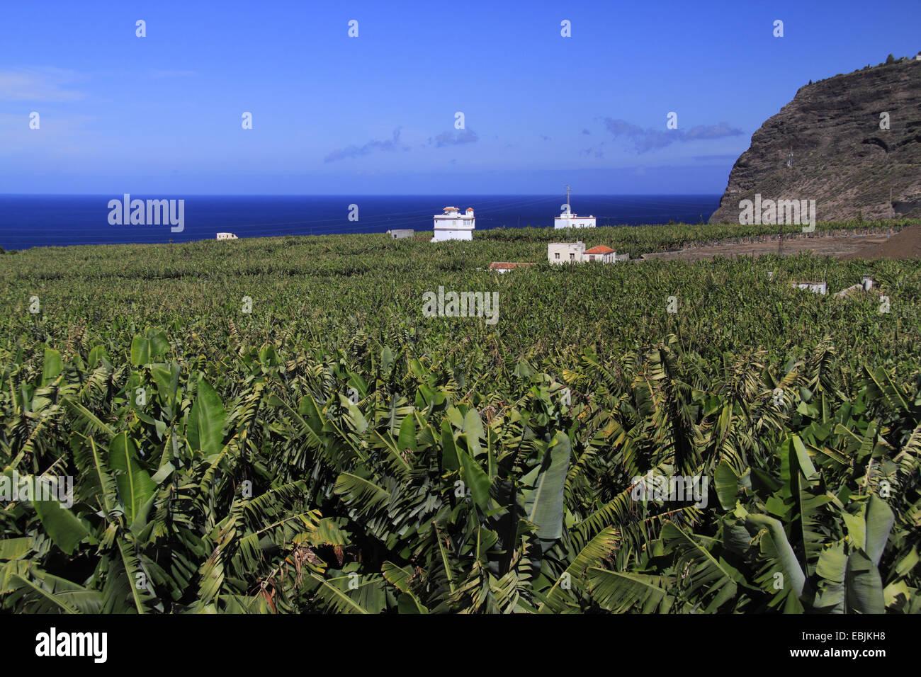 view onto banana plantation and the sea , Canary Islands, La Palma, Tazacorte - Stock Image