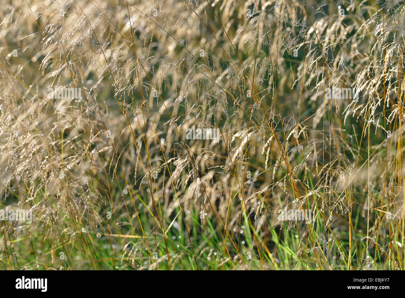 tufted hair-grass (Deschampsia cespitosa), with morning dew, Germany Stock Photo